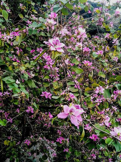 Bauhinia variegata 宮粉羊蹄甲 大窩口國瑞路