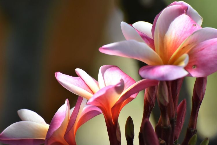 Tiered Beauty In Nature Blooming Close-up Day Flower Flower Head Focus On Foreground Fragility Freshness Growth Nature No People Outdoors Petal Pink Color Plant Plumeria Flowers Stepped