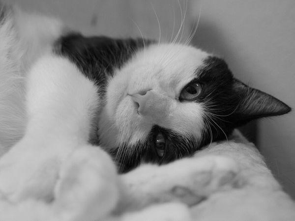 I'm Fabulous, Meow! Cat Blackandwhite Animals Cats Pets Kitty Animal Black And White Portrait Black & White My Cat Fortheloveofblackandwhite Feline