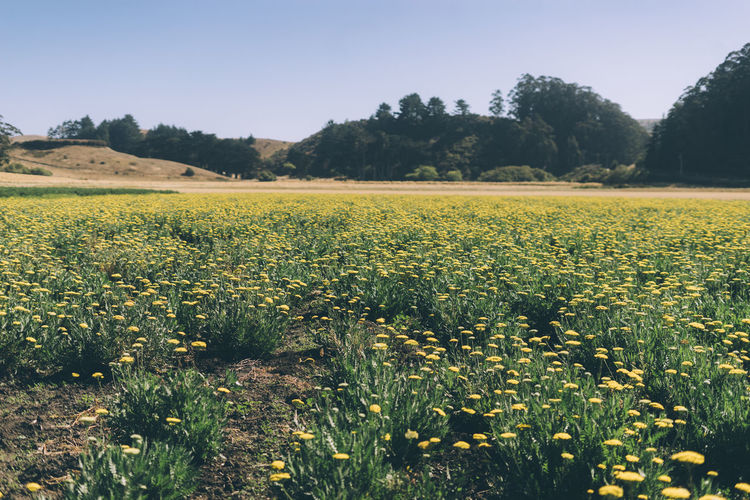 fields of yarrow Plant Landscape Growth Field Beauty In Nature Land Environment Tranquil Scene Sky Tranquility Flower Agriculture Scenics - Nature Flowering Plant Rural Scene Tree Nature Day Yellow No People Outdoors Plantation