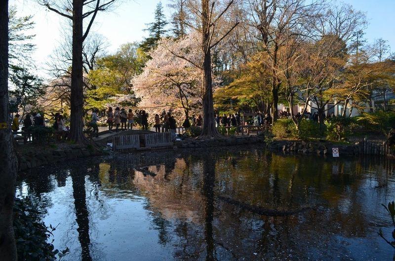 Sakura at Inokashira Park on April 6th, 2014. Water Reflections Water_collection EyeEm Nature Lover さくら