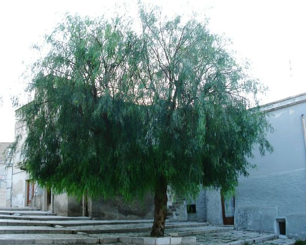 Tree No People Nature Growth Outdoors Day Sky Beauty In Nature Italy🇮🇹 Italia Southern Italy Apúlia Italy History Architecture Built Structure Nature Plant Nature Collection Naturephotography Natural Beauty Naturelovers Nature Photography