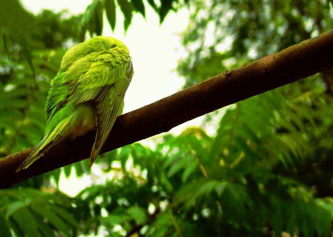 Green Birdy