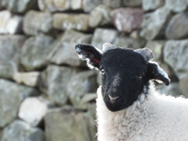 I hear you Sheep English Countryside North Pennines Pennines Pennine Way Nature At Its Best Non Urban Scene Non-urban Scene Stone Wall Ears Up