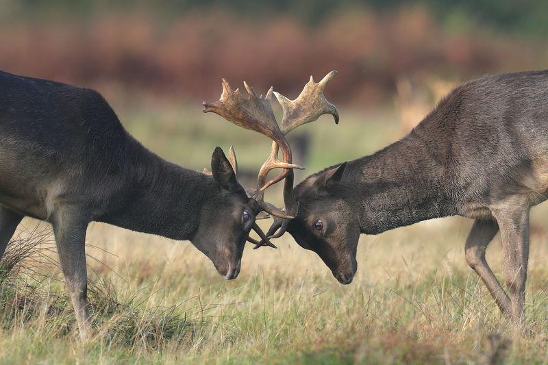 Two fallow deer fighting