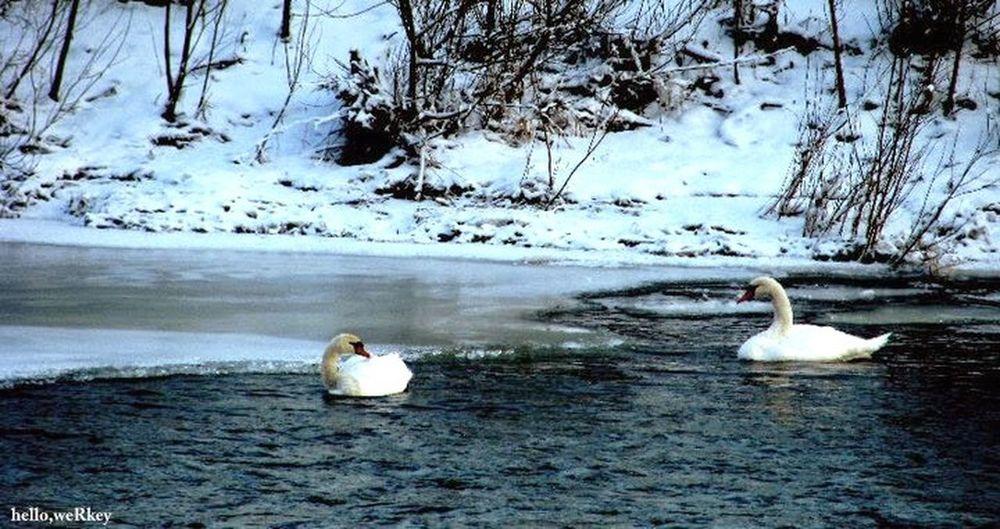 Swan Slovakia Hellowerkey ❄️