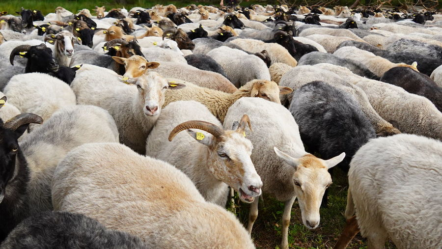 View of sheep on farm