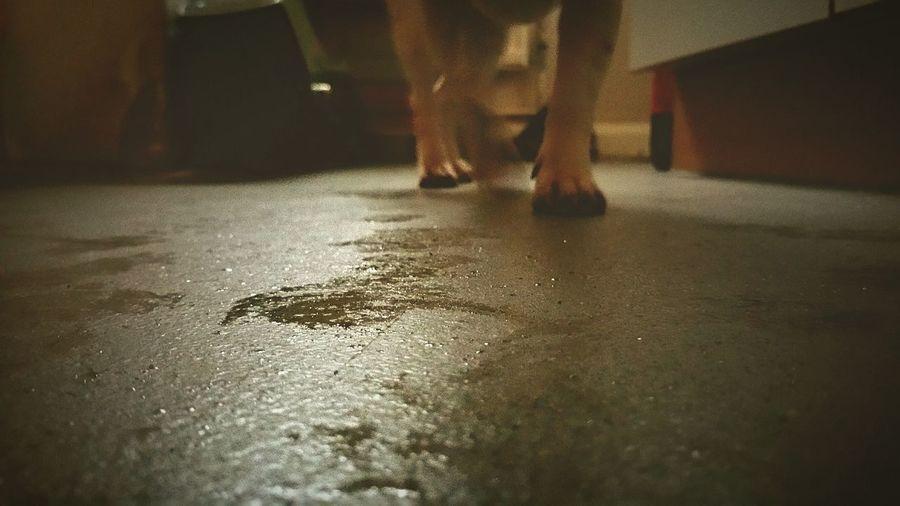 Wet Paws Wet Floor Raining Again Wet Dog Mini Jack Russell Terrier Kitchen Floor