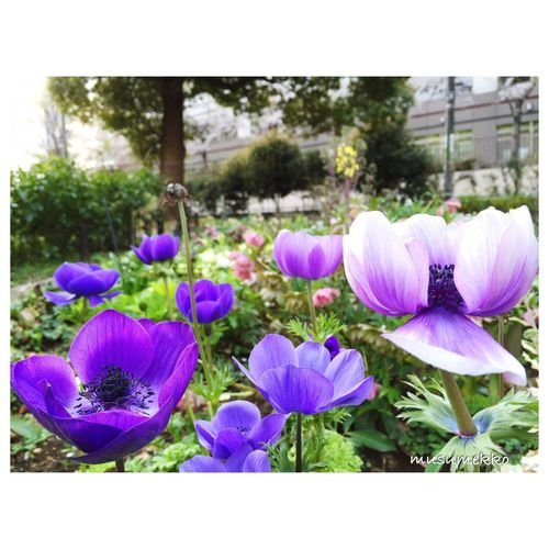 Anemone Spring Flowers Flowerporn Loves_garden Beautiful Nature Nature_collection Landscape_collection EyeEmNatureLover Enjoying Life Photography In Motion Nature_collection アネモネ 花 公園 散歩 春 風景 EyeEm Nature Lover