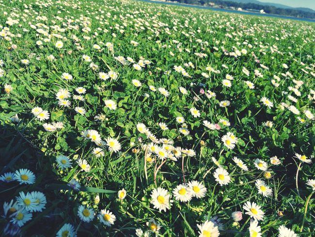A Toxa 💓 La Toja, Galicia La Toja Flower Nature Beauty In Nature Tranquility Freshness Green Color Galicia Galicia, Spain Galifornia Galicia Calidade Paradise On Earth