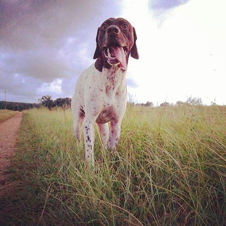 Skylovers Greengrassofhome Countryroads Gsp Hunting Dog Pookie  German Shorthaired Pointer Pointer Shotgun Dog Bff❤ Bestfriend Tongue Out