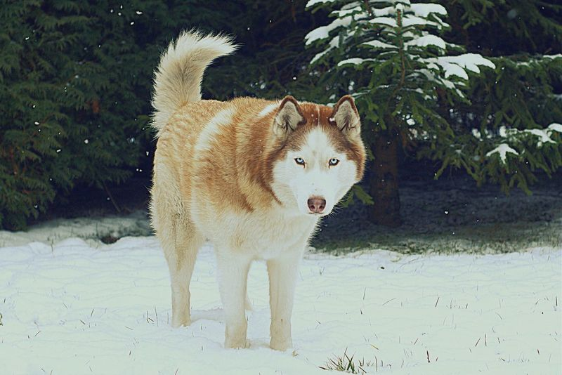 My Syberianhusky is Waiting for Snow this year. Friday Chillout 📷