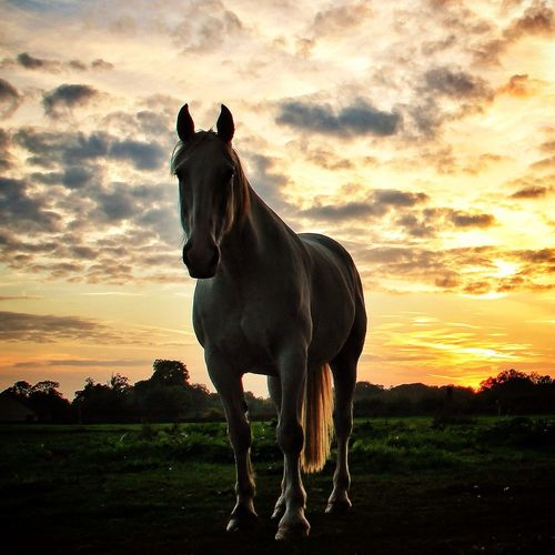 Troy, in the sunset. Tadaa Community EyeEm Nature Lover Sunset Horse Love