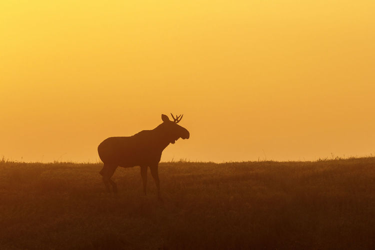 Silhouette of a bull moose in dawn light