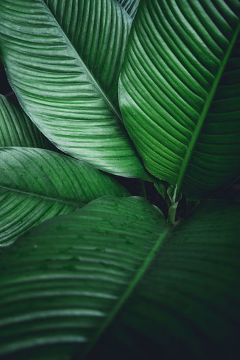Green leaf background Dark green leaves Backgrounds Banana Leaf Beauty In Nature Close-up Day Freshness Full Frame Green Color Growth Leaf Leaf Vein Leaves Natural Pattern Nature No People Outdoors Palm Leaf Pattern Plant Plant Part