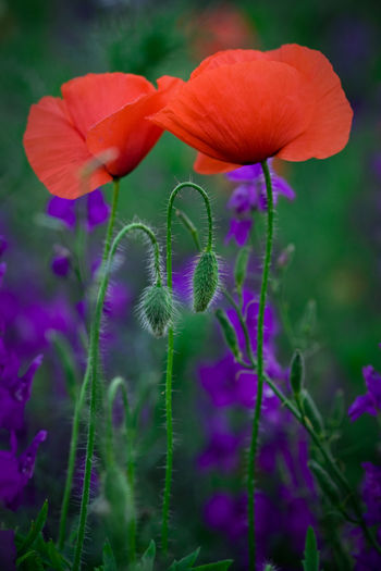 Flowering Plant Flower Plant Beauty In Nature Growth Flower Head Field Land Nature No People Day Plant Stem Outdoors Purple Poppies  Poppy Poppy Flowers Weed Weeds Weeds Are Beautiful Too Flower Buds Two Red Couple Spring