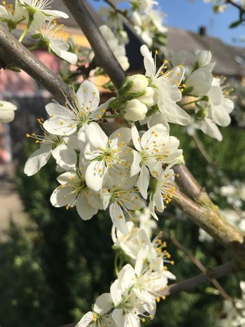 Plant Flowering Plant Flower Fragility Vulnerability  Growth Beauty In Nature Close-up Springtime Petal Focus On Foreground Freshness Inflorescence Blossom White Color Branch Day Tree No People Nature