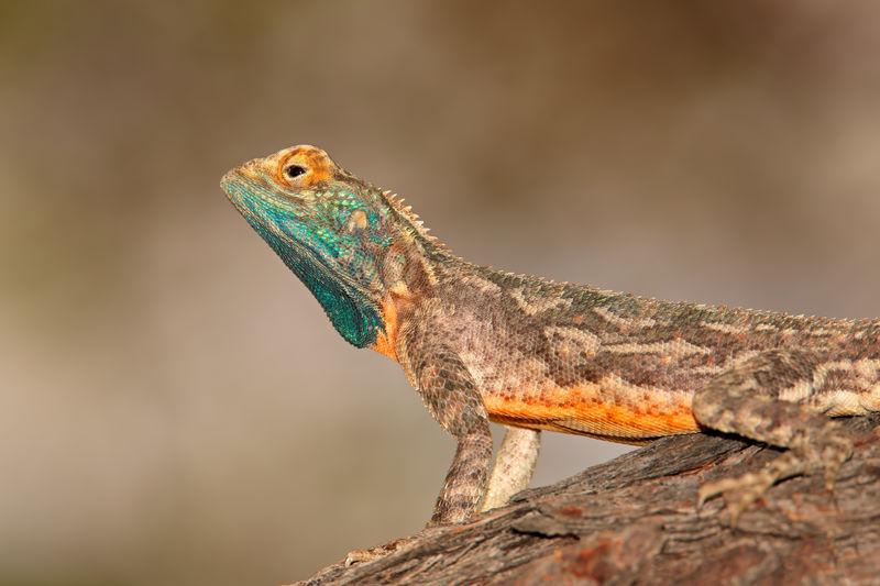 Male ground agama - agama aculeata - in bright breeding colors, kalahari desert, south africa