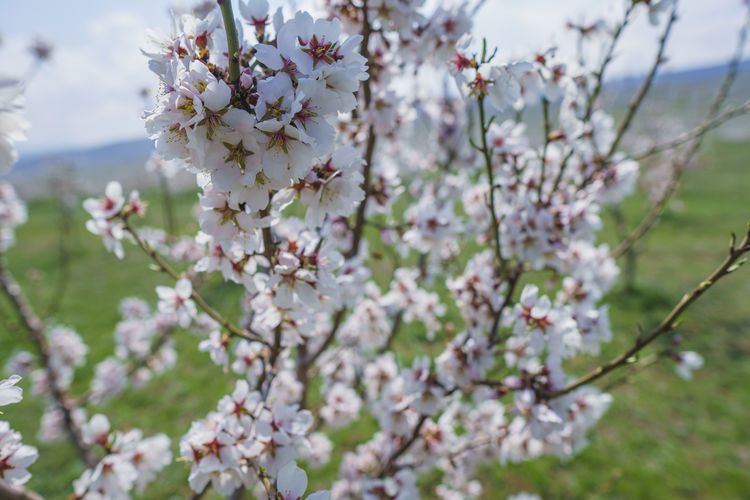Flowering Plant Plant Flower Freshness Fragility Beauty In Nature Growth Blossom Tree Vulnerability  Springtime Branch Close-up Day Nature No People White Color Selective Focus Focus On Foreground Cherry Blossom Outdoors Cherry Tree Flower Head Spring Bunch Of Flowers