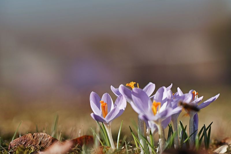Flower Flowering Plant Plant Freshness Beauty In Nature Vulnerability  Fragility Petal Growth Purple Close-up Crocus Nature Iris Flower Head Inflorescence No People Selective Focus Focus On Foreground Day Outdoors Springtime