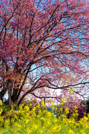 Plant Flower Tree Flowering Plant Blossom Beauty In Nature Springtime Freshness Growth Nature Branch Fragility Yellow Sky No People Day Tranquility Autumn Pink Color Outdoors Cherry Blossom Cherry Tree Change