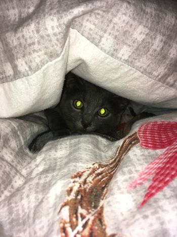 Cat♡ Chartreux Eye's Hiding In The Dark Indoors  No People Sheets