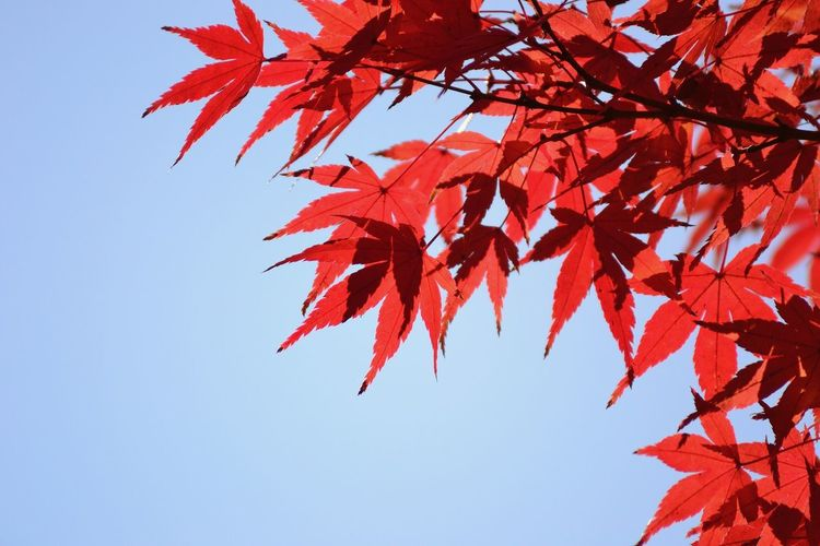Autumn Change Leaf Maple Tree Maple Leaf Low Angle View Beauty In Nature Nature Red Outdoors Day Maple No People Tranquility Tree Growth Branch Scenics Clear Sky Sky 太宰府 太宰府天満宮