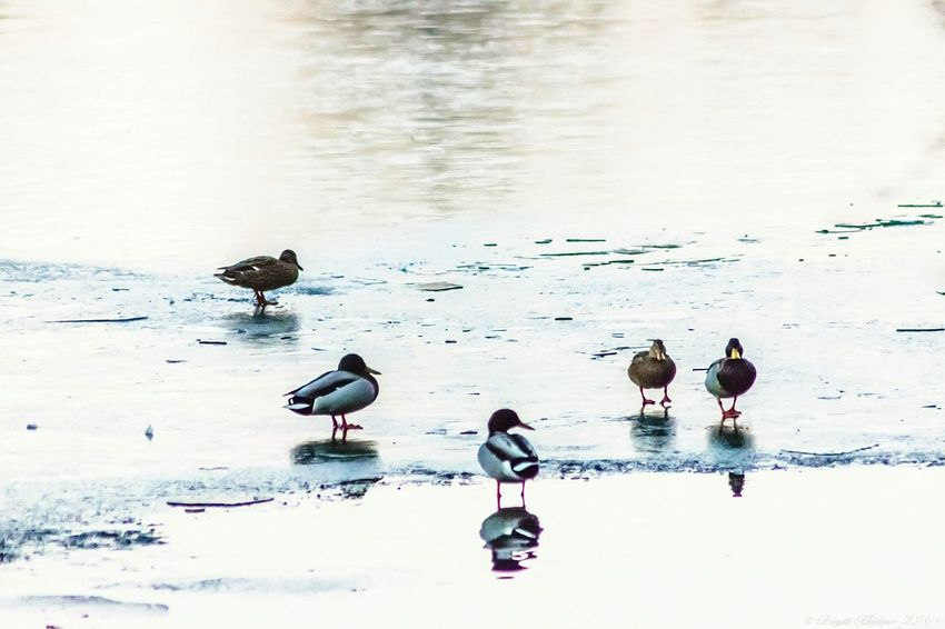 Ducks Large Group Of Animals Bird Water No People Animal Wildlife Animals In The Wild Outdoors Day Nature Beach Animal Themes Beauty In Nature Winter Morning Winter Frozen Frozen Nature Cold Temperature Freeze Freezy Morning Nature At Your Doorstep Le Vieux Château De Neuville En Condroz Lake Frosted Lake EyeEm Nature Lover
