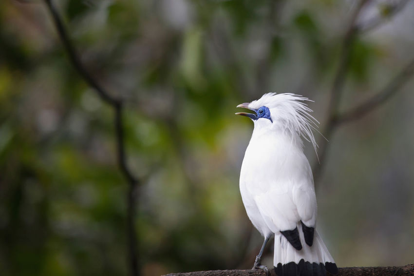Bali Myna Bird (Curik Bali) Bali Bali Myna INDONESIA Animal Themes Animal Wildlife Animals In The Wild Beak Beauty In Nature Bird Close-up Curik Bali Nature No People One Animal Outdoors Perching Tree