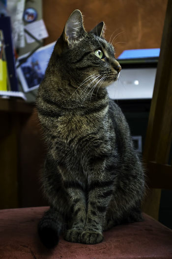 A portrait of a house cat sitting on a dining room chair. Animal Themes Close-up Day Domestic Animals Domestic Cat Feline House Cat Full Portrai House Cat Profile House Cat Regal Indoors  Mammal No People One Animal Pets Regal Regal Cat Sitting Whisker