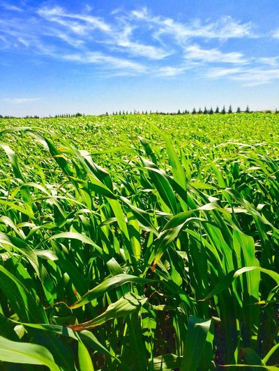Agriculture Growth Sky Rural Scene Crop  Farm Field Corn Green Nature Scenics Corn Crop Beauty In Nature Landscape Tranquil Scene Cereal Plant Cloud - Sky Tranquility Plant Day Plantation Premium Collection Premium California Agriculture California Crop Live For The Story