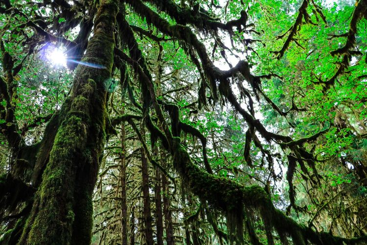 Hoh Rainforest Olympic National Park Tree Tree Trunk Nature Forest Beauty In Nature Tranquility Green Color No People WoodLand Lens Flare Rainforest
