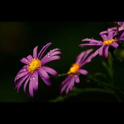 Erigeron karvinskianus, spanisches Gänseblümchen Flowers Flower Lobostudio Lobo_flowers