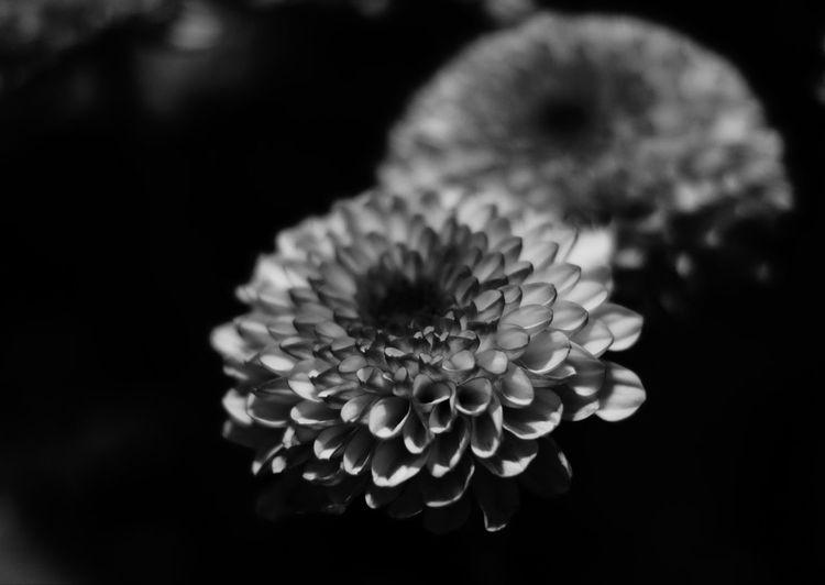 Flower Petal Flower Head Close-up Black Background Fragility Blackandwhite Photography