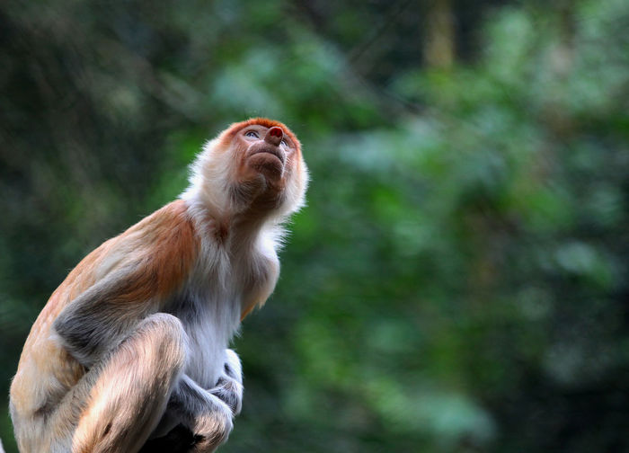 Low Angle View Of Monkey Looking Up At Forest