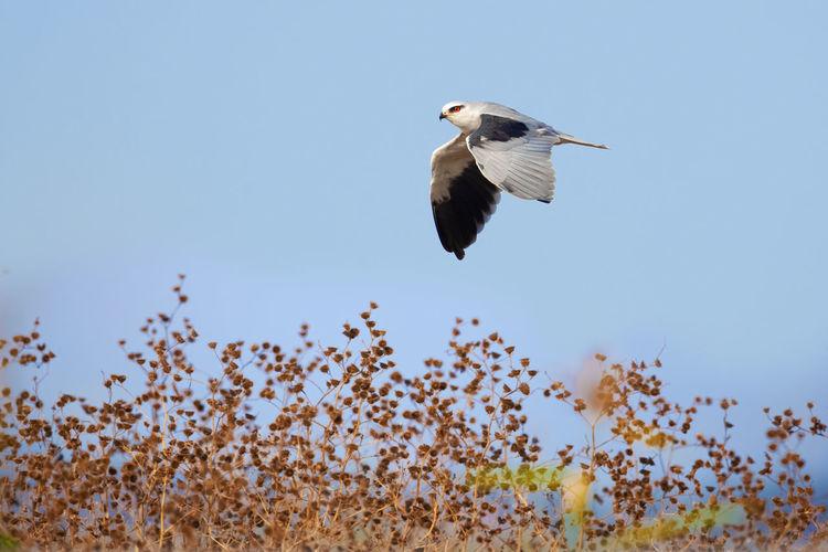 漂亮的黑翅鸢:但愿高邮湖畔这片很