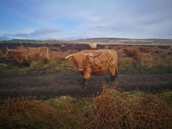 Baslow edge peak pistrict Highland Cattle Spring Walks