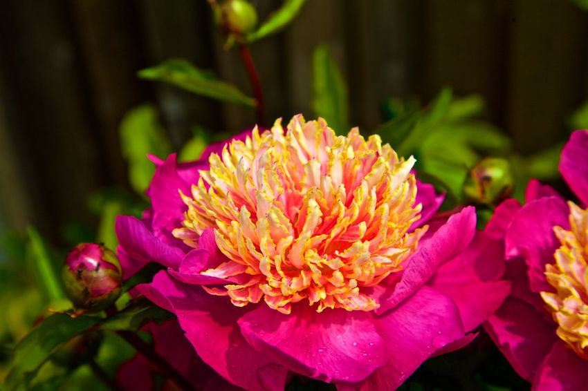 Beauty In Nature Blooming Flower Flower Head Focus On Foreground Fragility Freshness Growth Nature Peony Blossom Peony Flower PeonyBloom Petal Plant