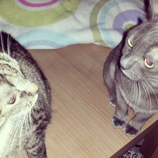 There will be some beef in the house, that's for sure. Catfight Catsofinstagram Catstagram Cats katzen koratcats koratcat catlover catoftheday love