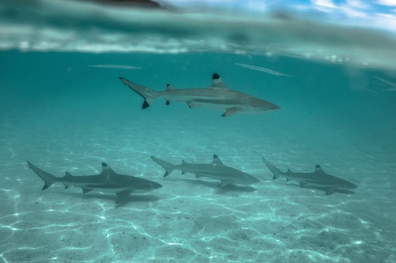 Let's get in formation... Shark Sharks Animals In The Wild Apnea Wildlife & Nature Nature_collection Moorea Tahiti French Polynesia Pacific Ocean Scuba Diving SCUBA Underwaterlife Underwater World Wildstyle Good Vibes Beautifully Organized The Great Outdoors - 2017 EyeEm Awards