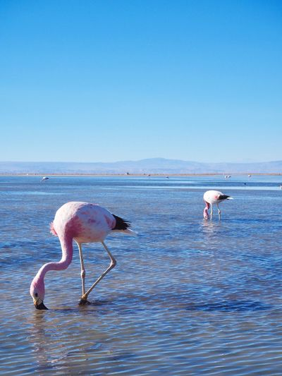 Pinky Flamingos Outdoors Travelgram Travel Destinations Discovery Lake Altiplano Salt Lake Birdphotography Chile Desert Flamingo Pink Water Animals In The Wild Blue Animal Wildlife Nature Beauty In Nature Outdoors