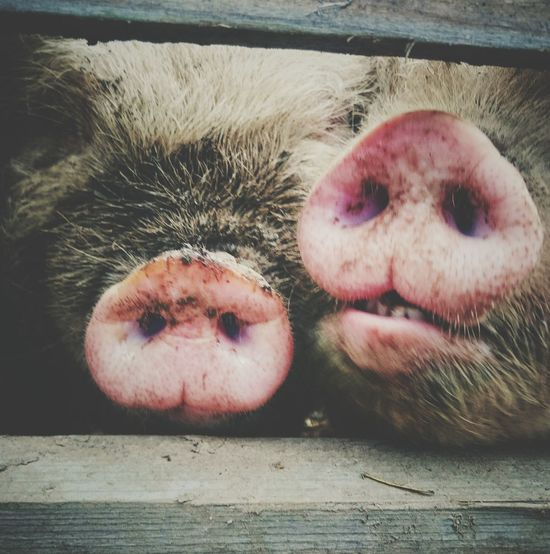 Oink! Farm Essex Animals Pig Sony Xperia Z3 Down On The Farm Places I've Been Today