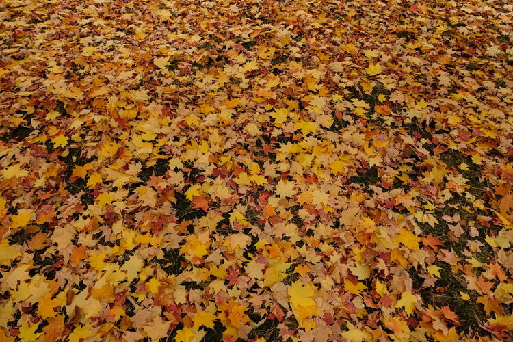 Plant Part Autumn Leaf Yellow High Angle View Full Frame Change Abundance Leaves Falling Backgrounds Beauty In Nature Nature Day No People Flower Orange Color Plant Maple Leaf Large Group Of Objects Autumn Collection Natural Condition 2018 In One Photograph
