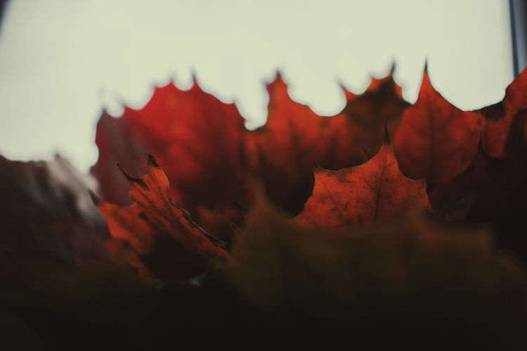 Close-up of red leaves