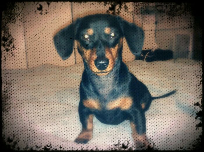 EyeEmNewHere Dogs Pets Dashound dog Dog Dachshunds Doxie Doxieforlife Doxiefever Doxie Loving Moments Dachshund Domestic Animals Dashhound Doxies No People Lying Down