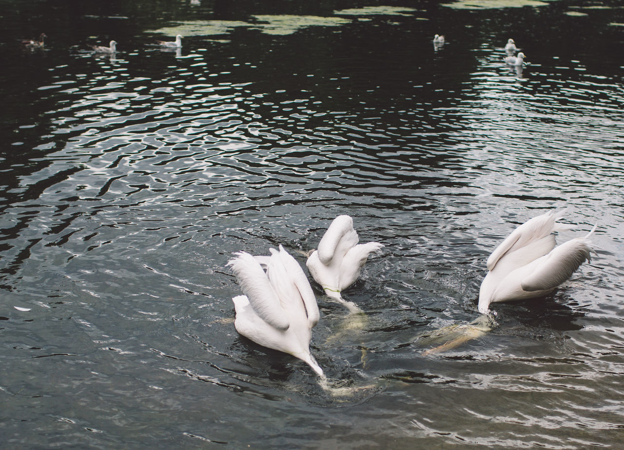 animal themes, swan, animals in the wild, bird, water, waterfront, lake, swimming, white color, animal wildlife, nature, water bird, day, no people, spread wings, outdoors