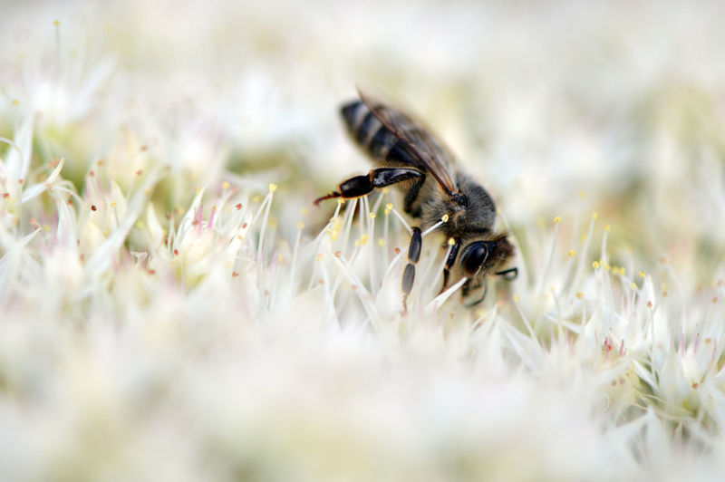 Macro shot of bee pollinating on white blossom
