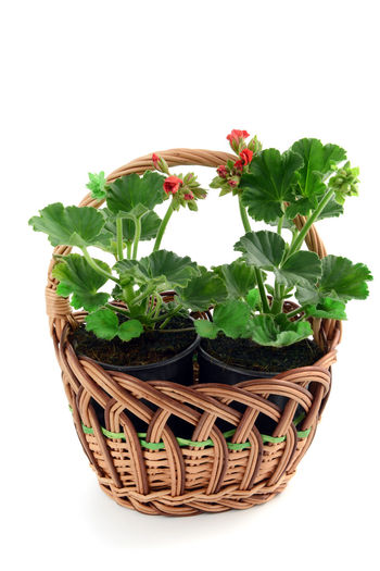 Basket with geranium flowerpot Geranien Geranium Basket Flowerpot Isolated Gardening Isolated White Background Garden Tools Red Flower Garden Centre Shopping ♡