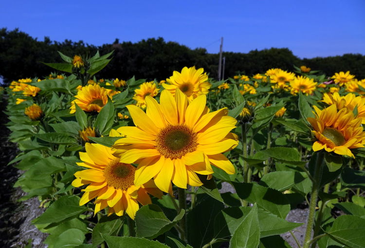 Radiant sunflowers in a field in Taiwan Agriculture Field Beauty In Nature Florets Flower Flower Head Lush Green Petal Plant Radiant Colors Rural Scene Springtime Sunflowers Yellow