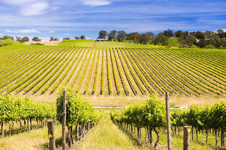 Vineyard with
